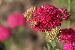 ladybug on organic pink yarrow