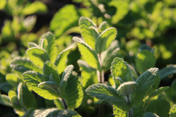 sun shining on organic peppermint