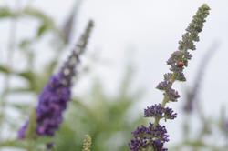 ladybug on organic lavender