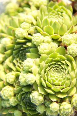 close up of green stonecrop