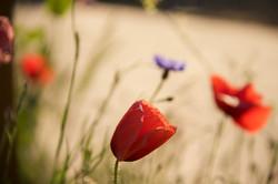 field of organic poppies in sunlight