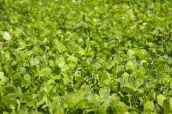 field of organic sweet clover