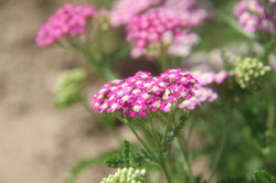 close up of pink organic yarrow