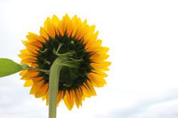 back of sunflower on white backgroun