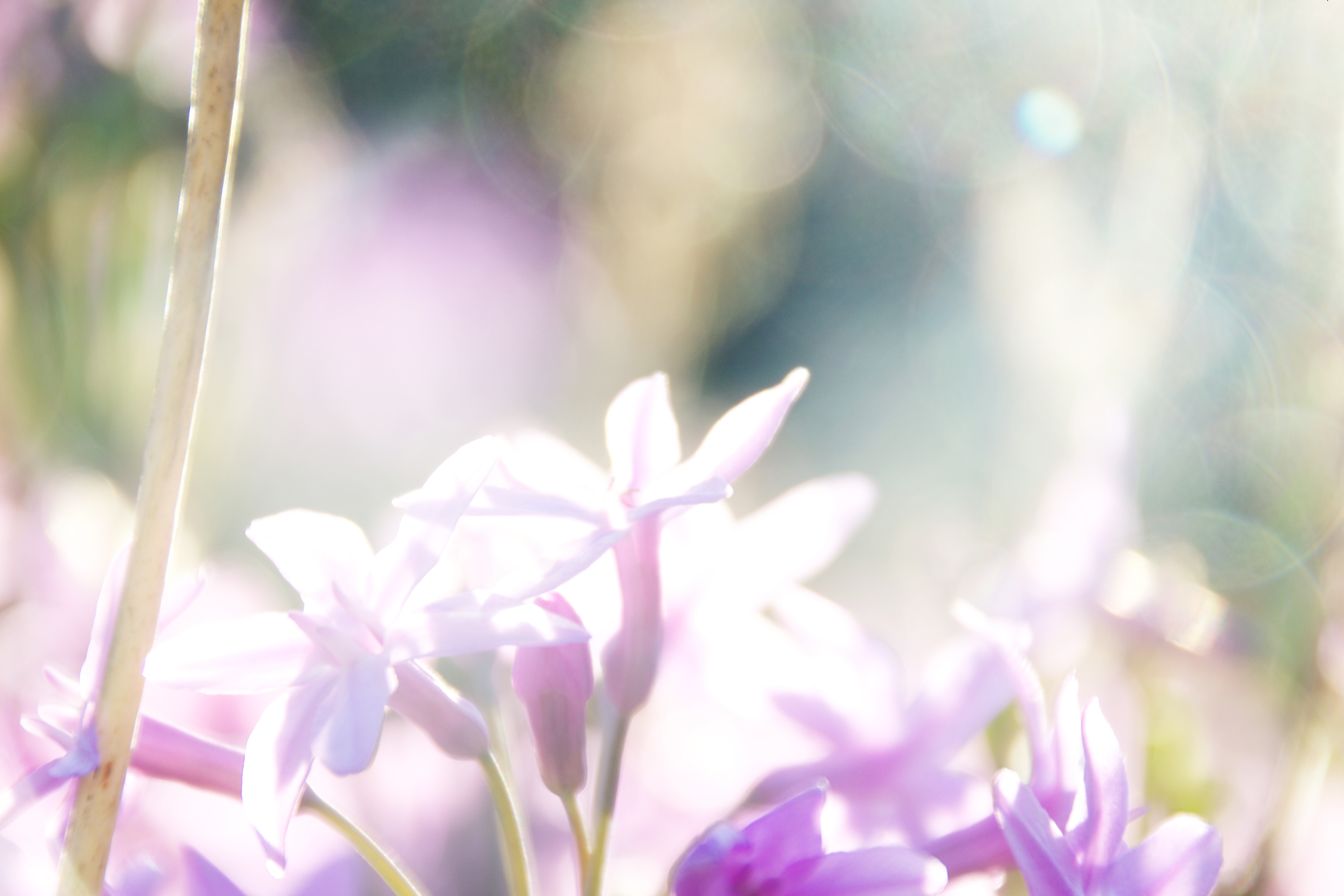 Purple lilac flower bokeh background