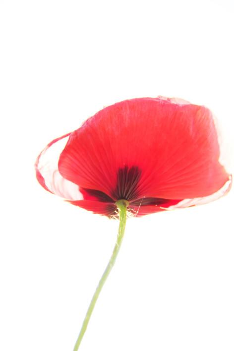 Red Poppy Harem