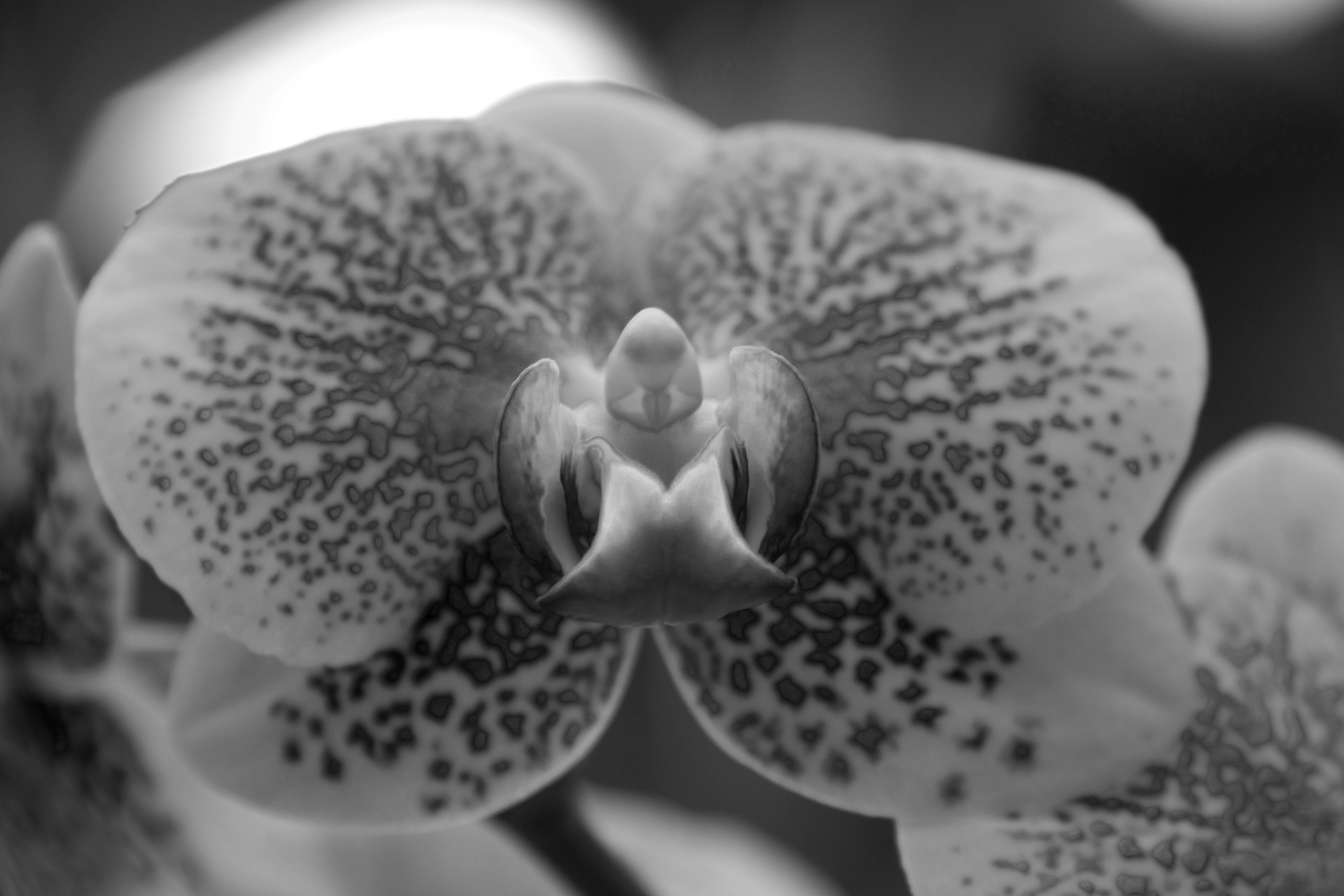 Close up of orchid in grayscale