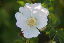close up of organic rosehip white