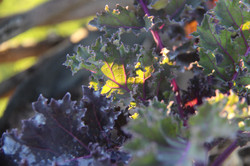 Sunlight on organic rainbow kale