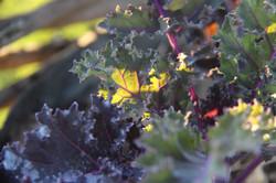Sunlight on organic rainbow kale
