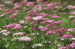 organic yarrow field pink and white