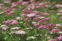 organic yarrow field pink and white
