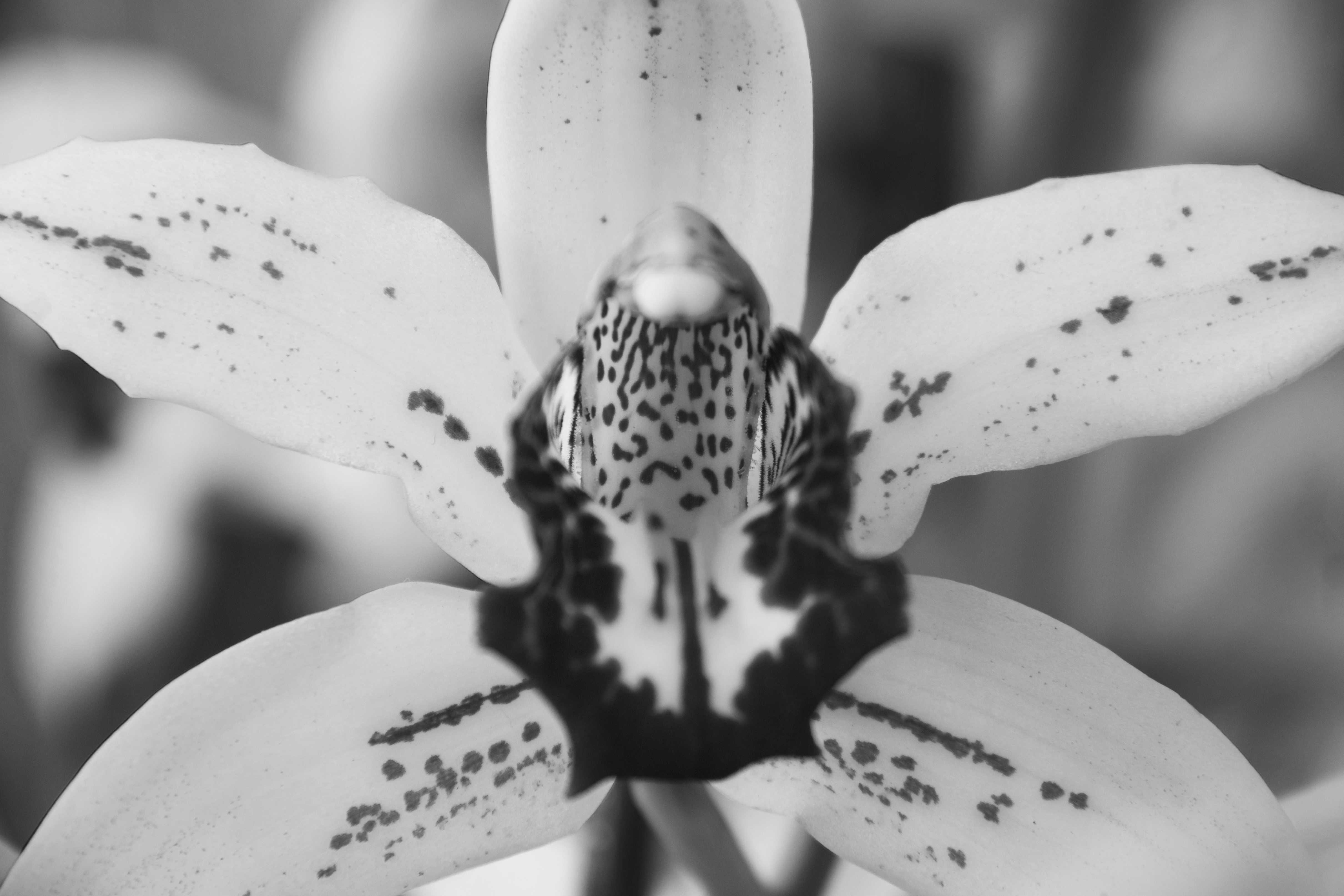 Close up of orchid black and white