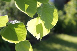 close up of organic linden leaves