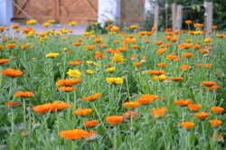 field of organic orange marigolds