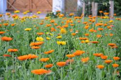 field of organic orange marigolds