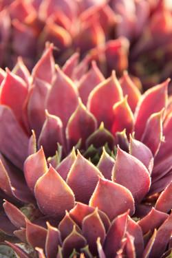 close up of red stonecrop succulent