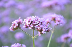 close up of purple organic yarrow