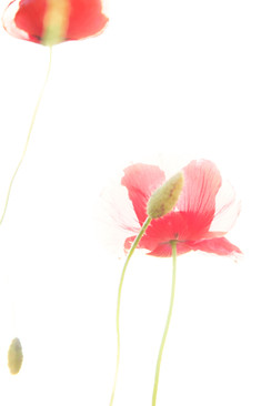 Red Poppy Cato
