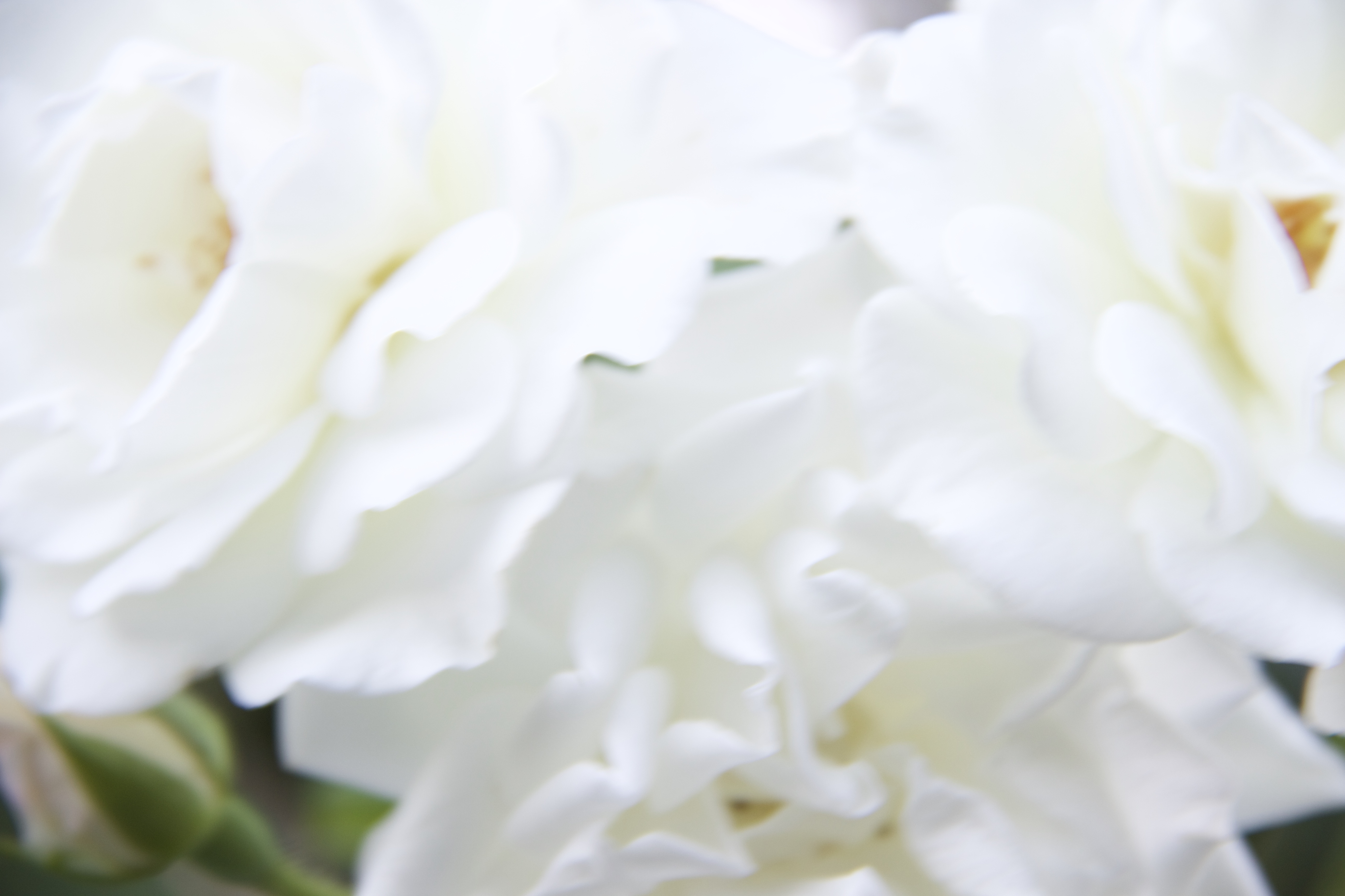 Close up white rose petals