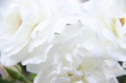 Close up white rose petals