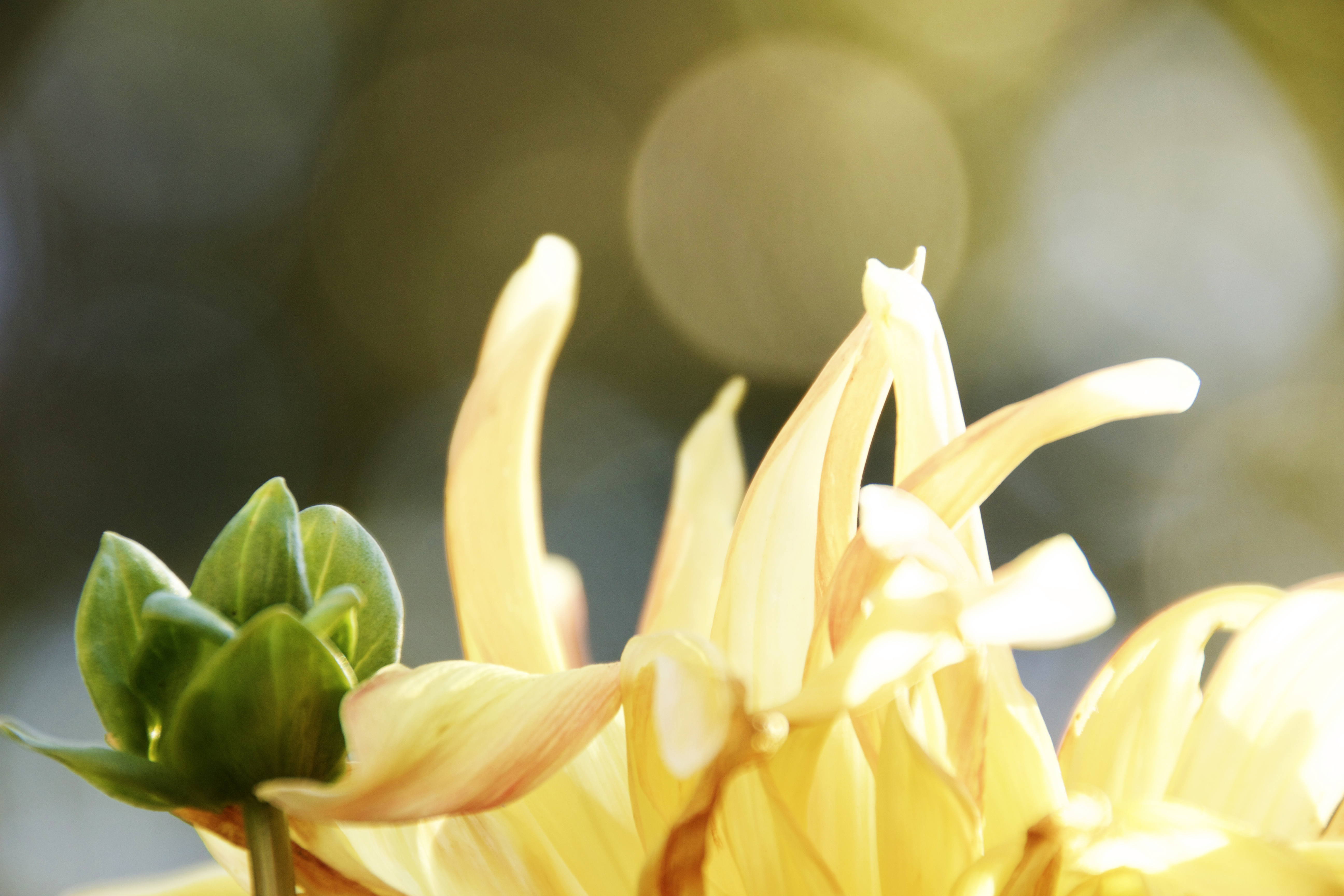 Yellow flower mum on bokeh backgroun