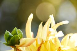 Yellow flower mum on bokeh backgroun