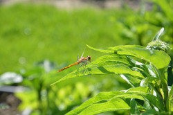 small orange dragonfly on green leaf