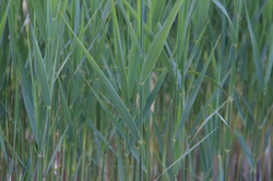close up of green blue pond reeds