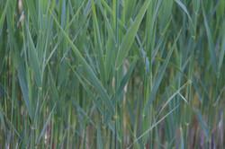 close up of green blue pond reeds