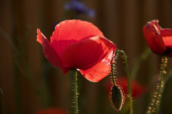 one red poppy in the sunlight