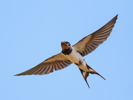 A Swallow Named Bill