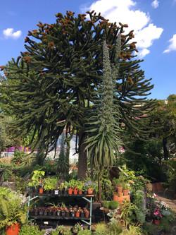 Echium Pinnata, Walworth Garden