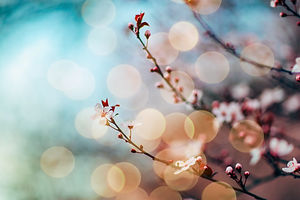 Cherry%20Blossoms_edited.jpg