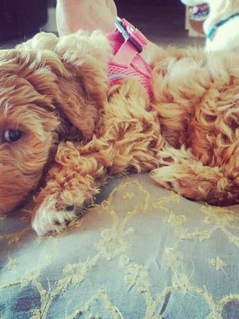 Abby's pup 9