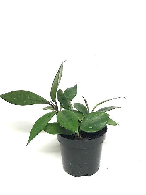 Hoya Cornosa 'Red Flower'