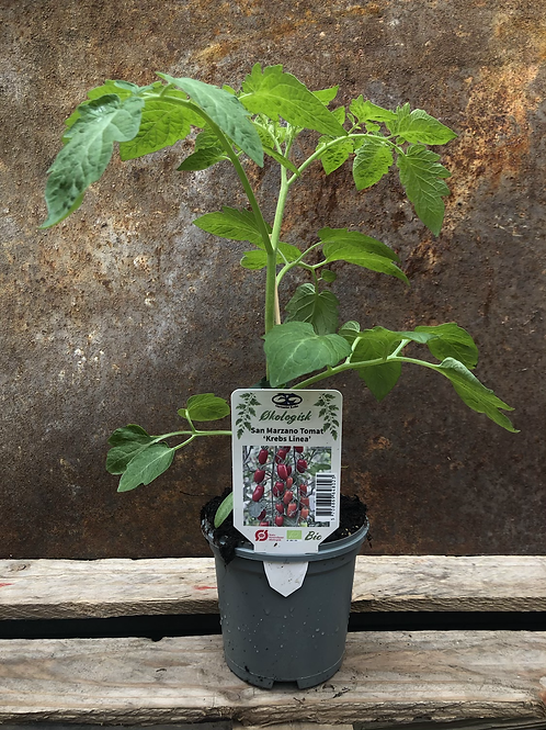 San Marzano Tomat 'Krebs Linea'