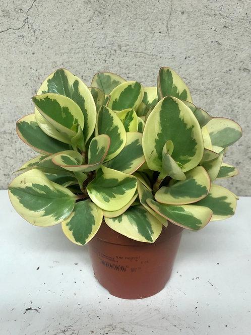 Peperomia 'Obtusifolia Bicolor'