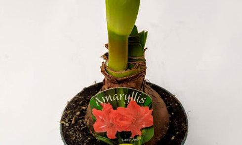 Amaryllis 'Lady Jane'