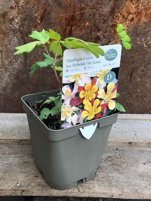 Aquilegia Caerulea Hybride 'Mc Kana'