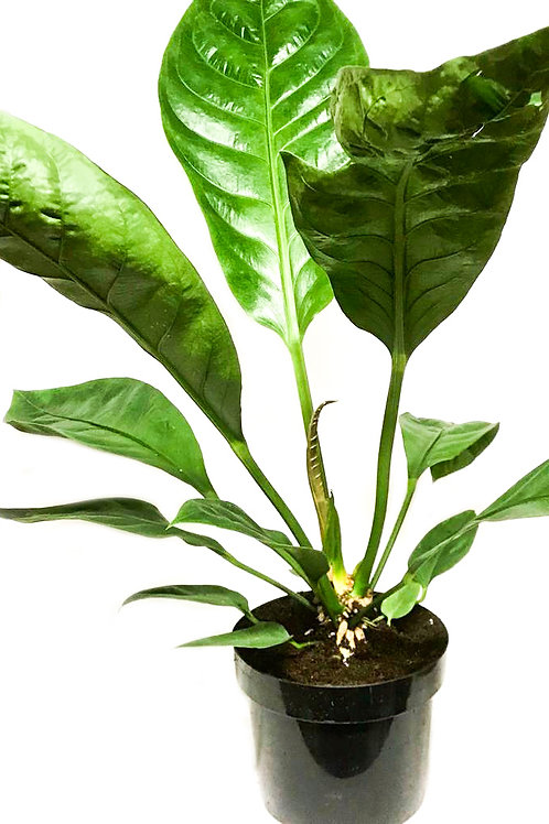 Philodendron 'Fat Boy'