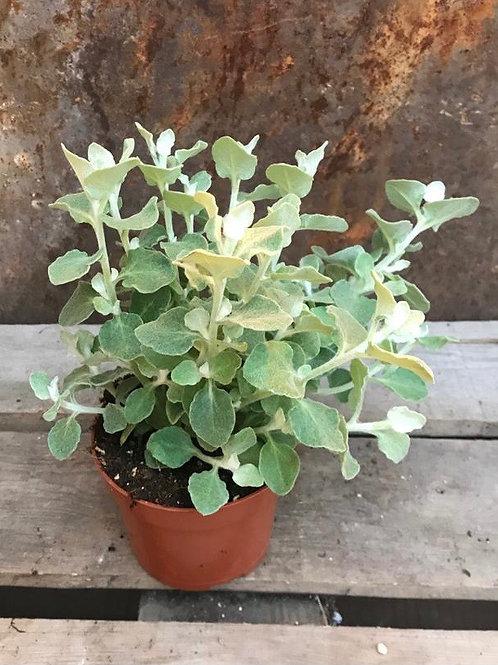 Helicrysum