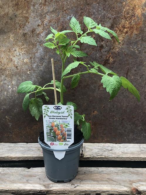 San Marzano Tomat 'Krebs Mandarina'