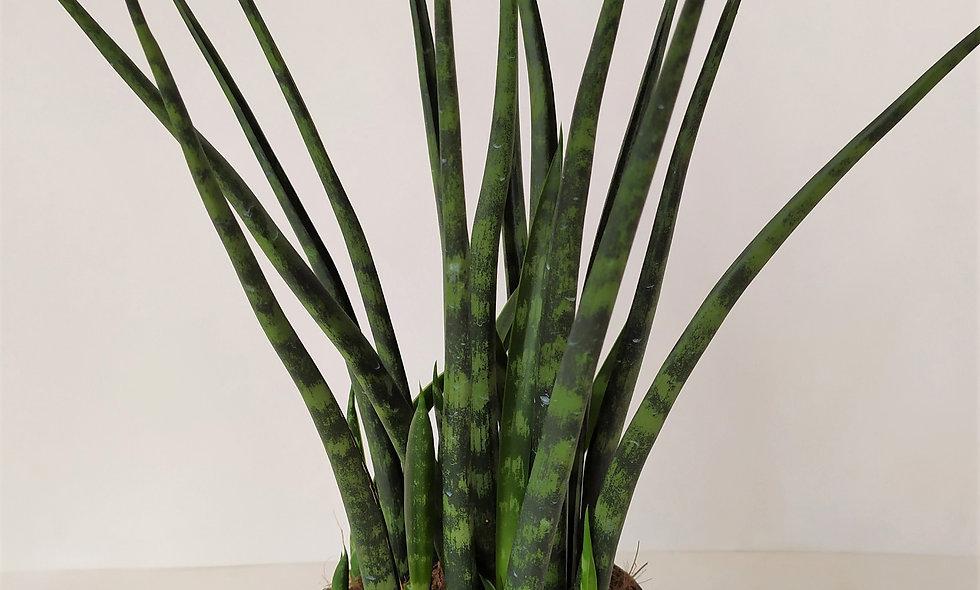 Sansevieria Cylindrica 'Fernwood'