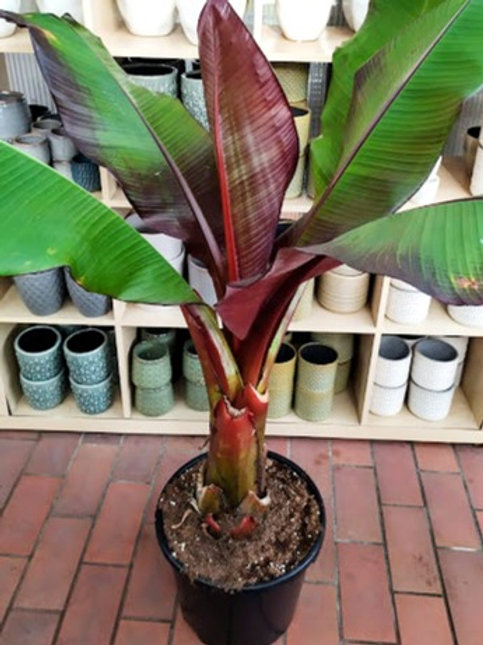 Bananplante 'Musa Red Tiger'