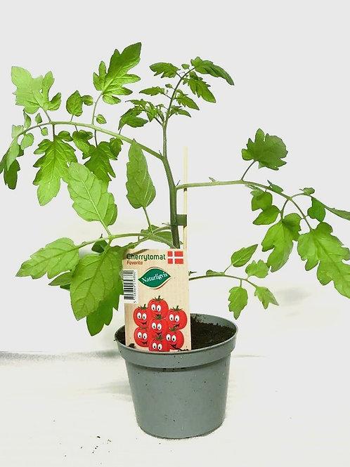 Cherrytomat 'Favorita'