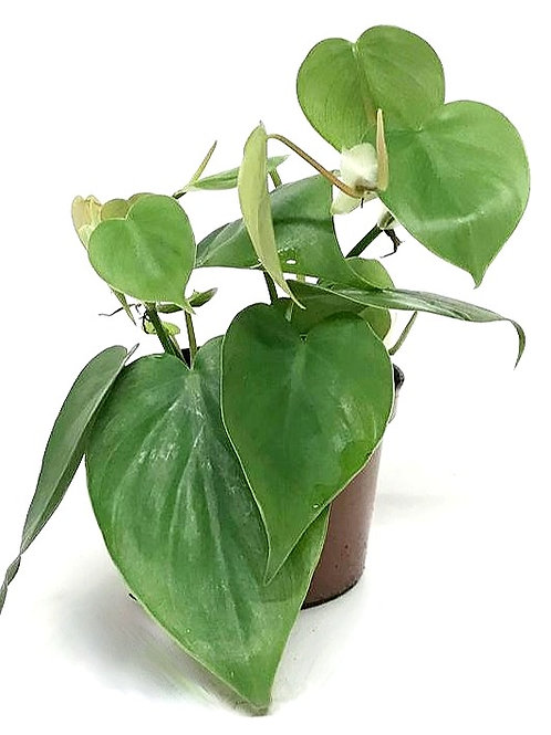 Philodendron 'Scandens'