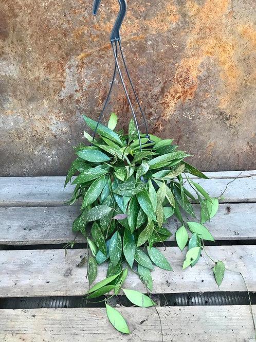 Hoya Cornosa 'Gracilis'