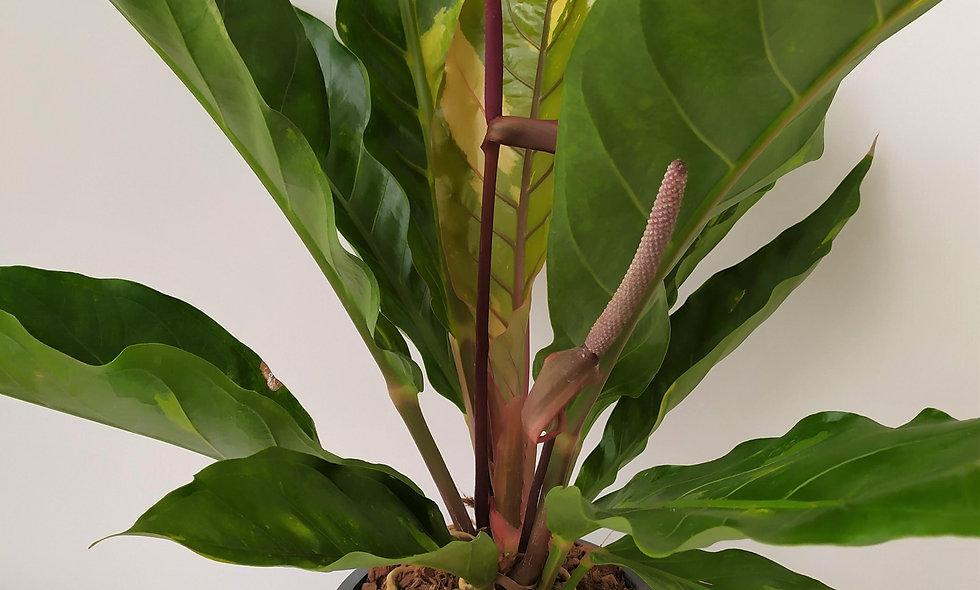 Anthurium 'Ellipticum Variegata'