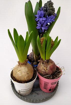 Svibel 'Hyacinthus orientalis'